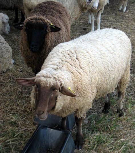 Sheep Farm In Liberty Nc